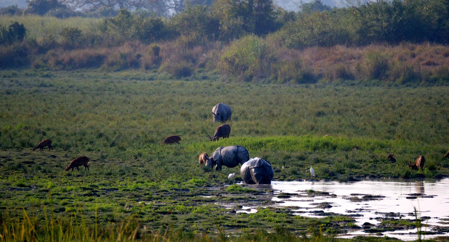 Носороги парк казиранга