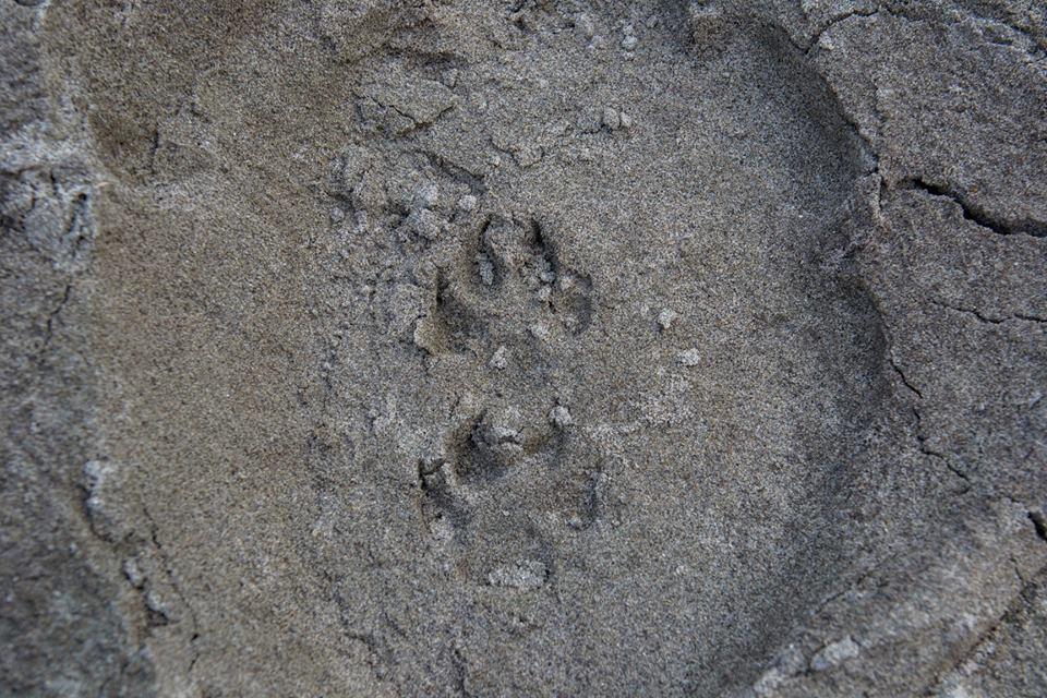 Леопард след